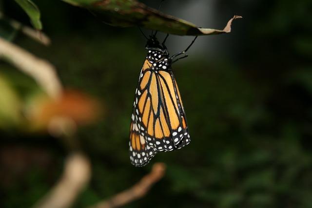 motýl při spánku